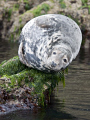 A grey seal basks on the rocks at St Tudwals Islands, North Wales. 